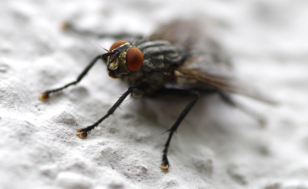 fly-344991_1920